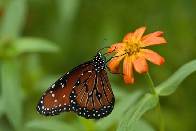 how-to-photograph-butterflies6