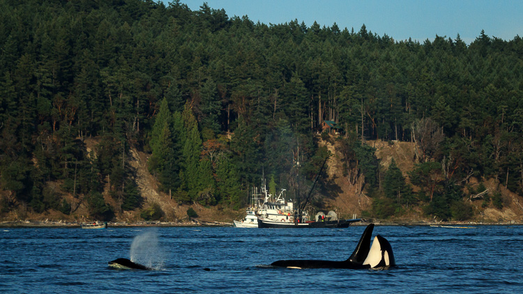Orcas and commercial fishing boats near San Juan Island, Washington.