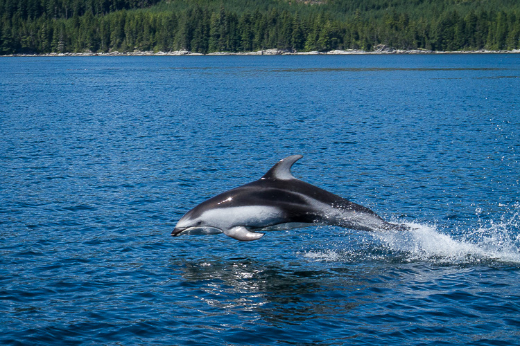 Pacific White Sided Dolphin in Johnstone Strait, British Columbia