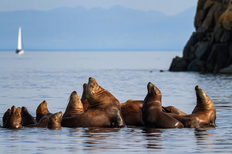 Sea lions basking on rocks near Vancouver Island, British Columbia.