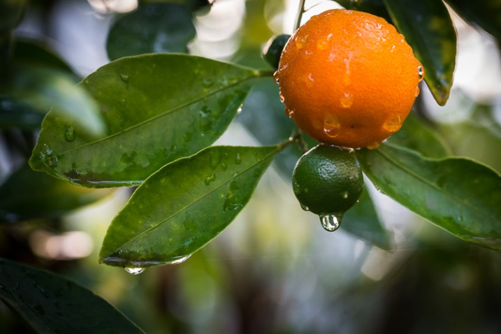 fotografando a natureza em seu quintal kumquat