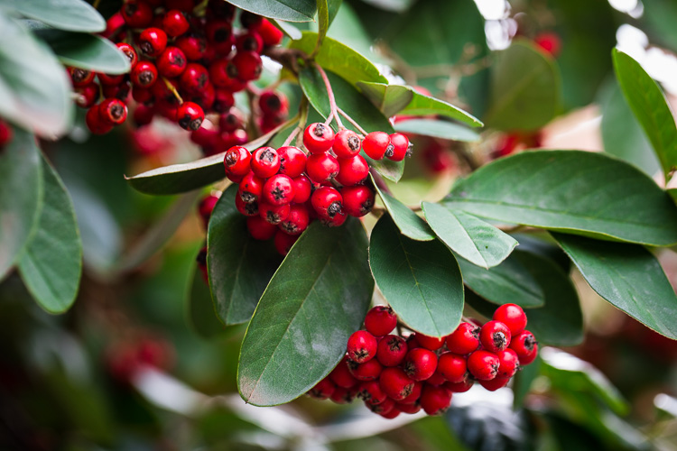 photographing nature in your backyard berries