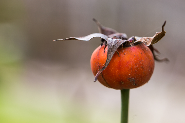photographing nature in your backyard rosehip