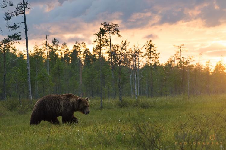 棕熊在日落时