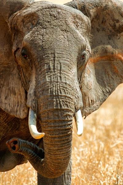 Elephant in Tarangire National Park, Tanzania by Anne McKinnell