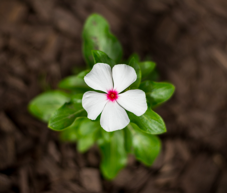 """This picture of a periwinkle flower could go into a collection called """"Flowers,"""" another one called """"Nature,"""" and another one with only pictures of periwinkles. All at the same time."""