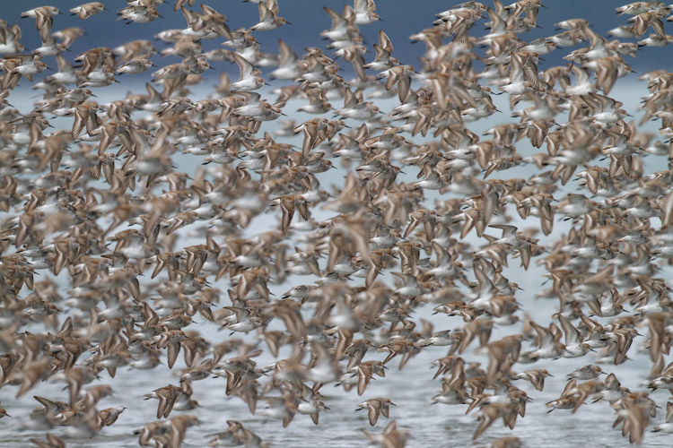 A large flock of shorebirds, when compared to the single-bird portrait, is more telling of the lives of the birds, and their epic migrations.
