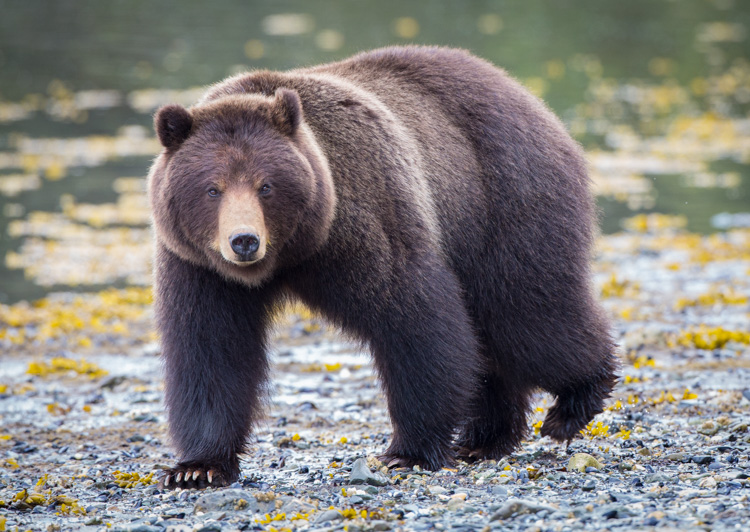 Similar to the story I related above, this bear approached a group of photographers I was a part of on Admiralty Island, Alaska. He came very close, and I regret not taking a moment to show a wider shot with the group of us in the frame.