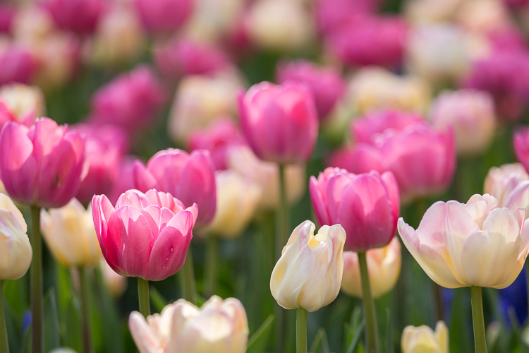Low Impact Nature Photography - field of tulips