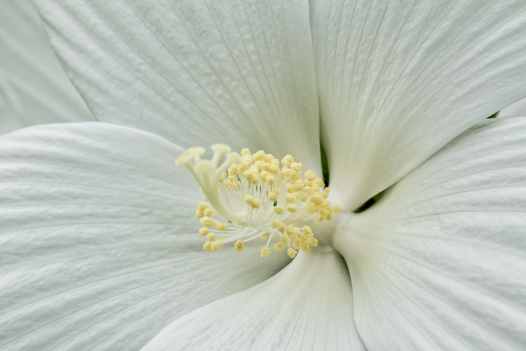 Luminar for beginners - white hibiscus