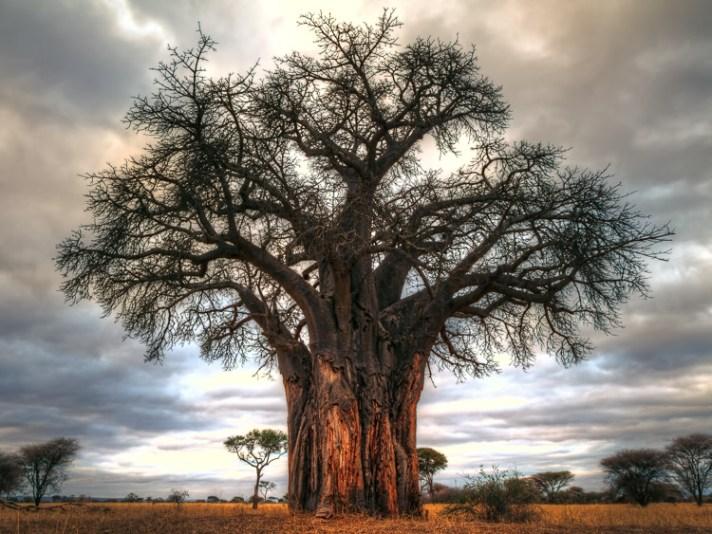 猴面包树在坦桑尼亚塔兰吉雷国家公园-暴露的7个摄影神话