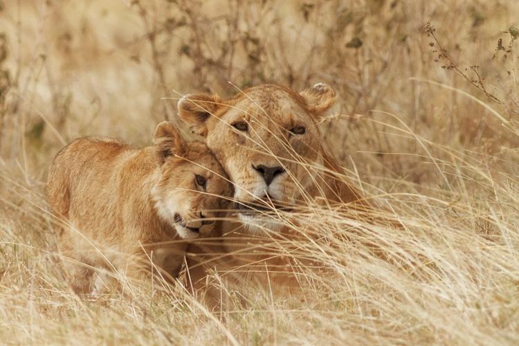 https://i2.wp.com/digital-photography-school.com/wp-content/uploads/2017/10/lion_and_cub.jpg?resize=750%2C500&ssl=1