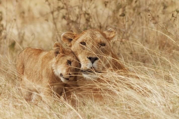狮子和幼崽在坦桑尼亚恩戈罗恩戈罗火山口-暴露的7个摄影神话