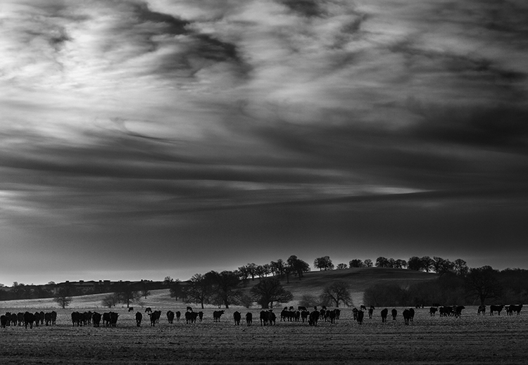 cows - Adding a Sense of Scale to Your Landscape Photos