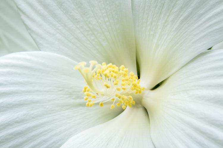 Tamron 18-400mm lens - white hibiscus