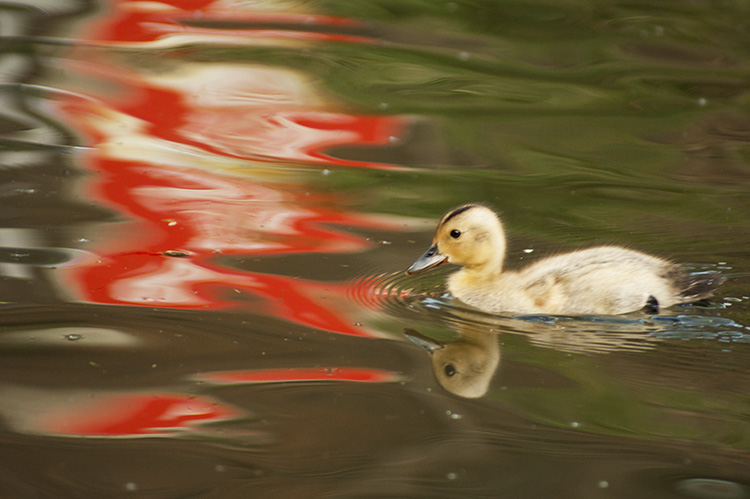 Duckling red water - Seven Style Tricks to Steal from Other Artists