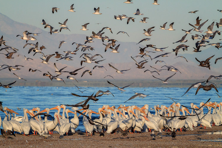 Gulls Flying over Pelicans by Anne McKinnell - How to Make Storytelling Landscape Photos - 4 Steps