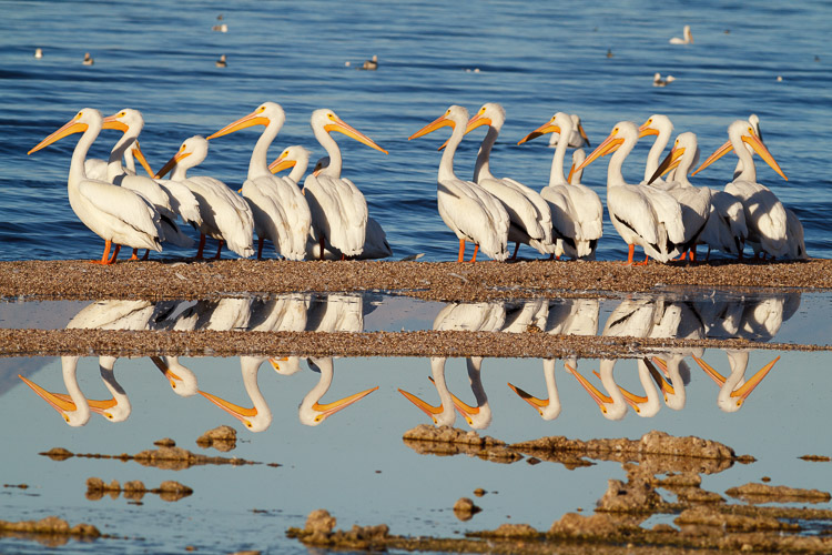 White pelicans by Anne McKinnell - How to Make Storytelling Landscape Photos - 4 Steps