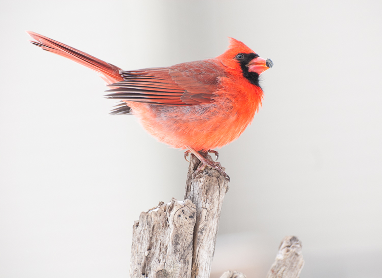 northern cardinal portrait - Four Ways to Get Frame-Filling Shots in Bird Photography