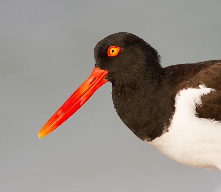 oystercatcher bird portrait - Four Ways to Get Frame-Filling Shots in Bird Photography