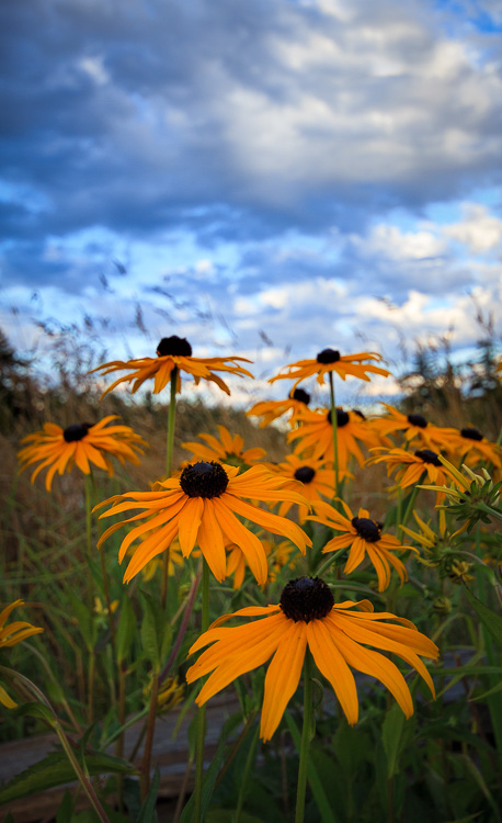 Black Eyed Susan, Victoria, BC - Wide-Angle Versus Telephoto Lenses for Landscape Photography