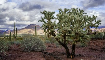 Chain fruit cholla at Organ Pipe National Monument, Arizona by Anne McKinnell