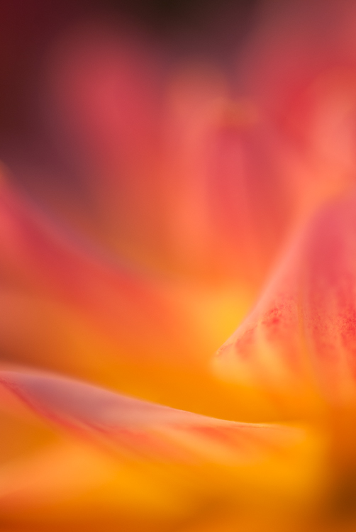 https://i2.wp.com/digital-photography-school.com/wp-content/uploads/2018/02/macro-photography-tips-dahlia.jpg?resize=502%2C750&ssl=1