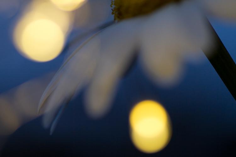 daisy background night macro