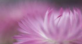 macro flower pink