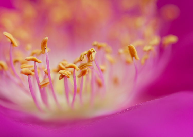 Rose macro close up - Five Ways to Take Your Macro Photography to the Next Level
