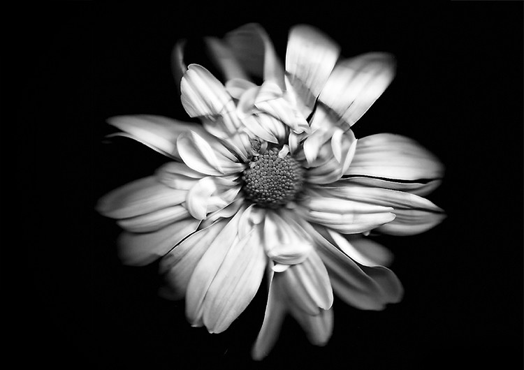 黑色和白色的花朵-如何用扫描术创建植物图像