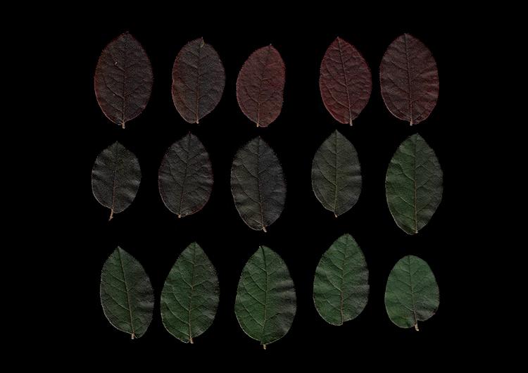如何使用扫描技术创建植物图像-叶子