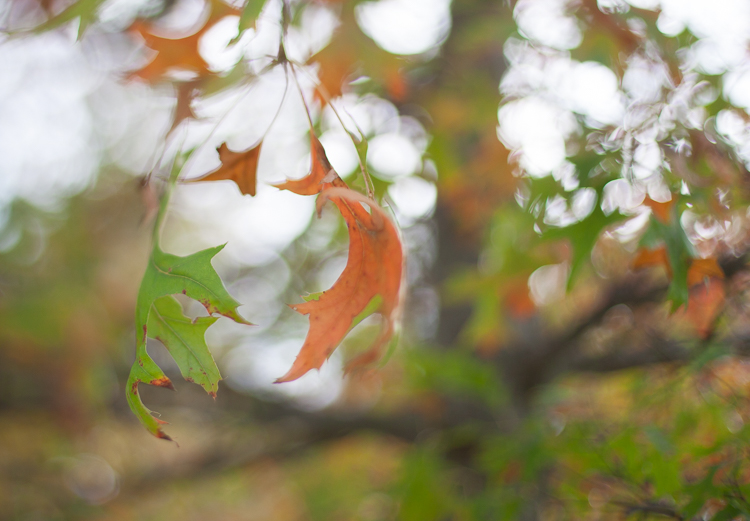 freelensing macro bokeh autumn leaves
