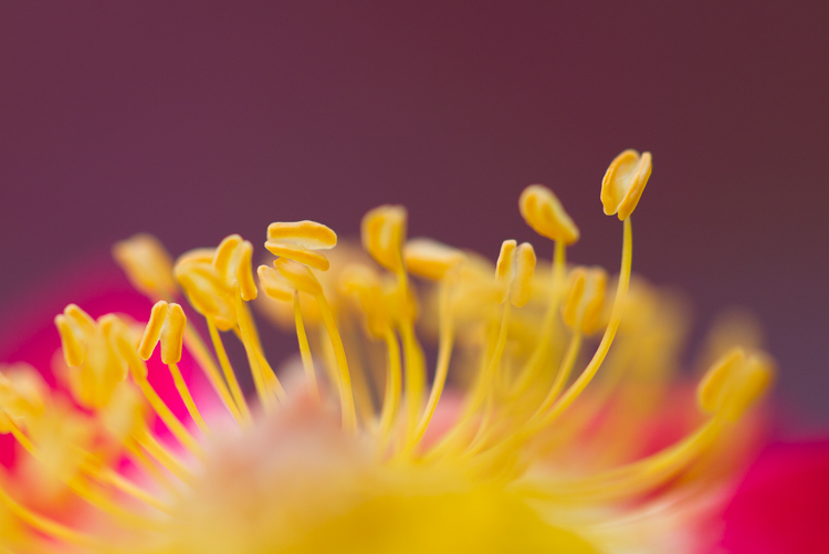 macro photography Canon 100mm f/2.8L rose abstract - How to Choose the Perfect Macro Lens