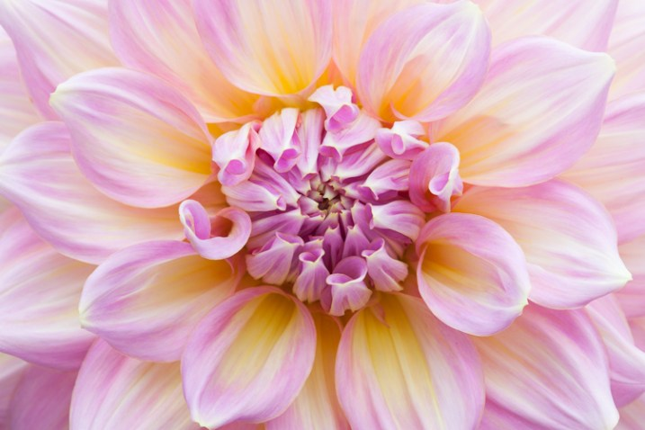 dahlia macro photography flower