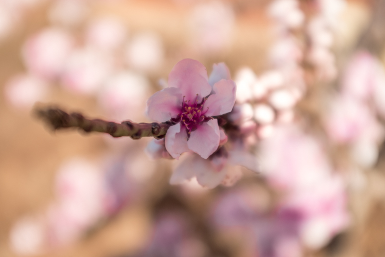 pink flowers - Optical Versus Electronic Viewfinders