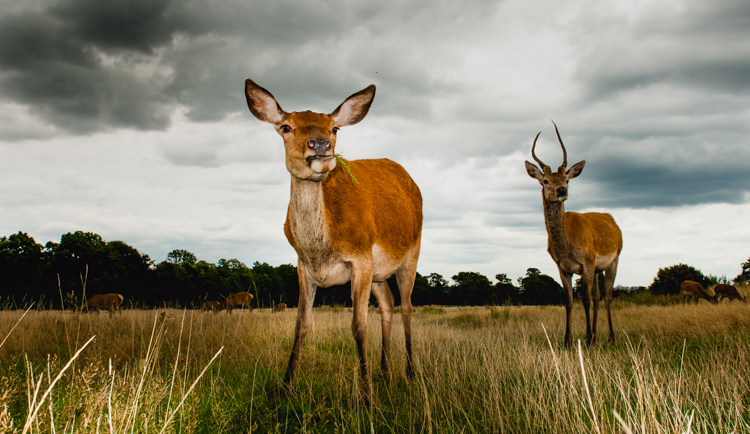 Shooting wide two deer in a field - wildlife photographer