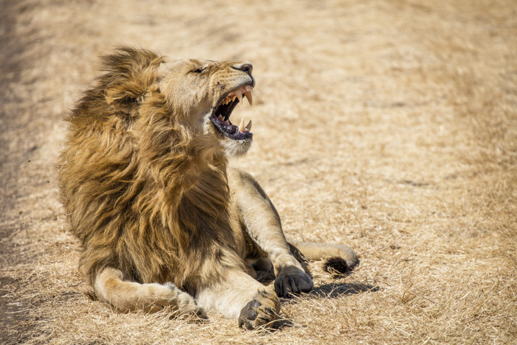 Lion's roar Ngorongoro Crater Tanzania - better vacation photos