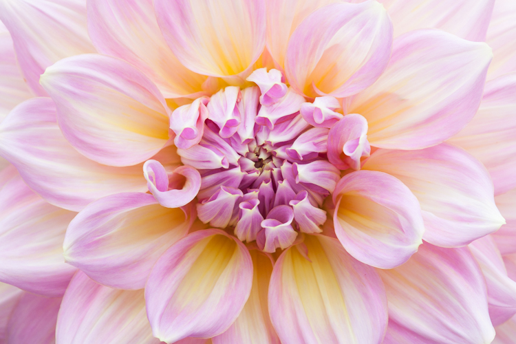 flower photography macro dahlia - A Beginner's Guide to Photographing Flowers