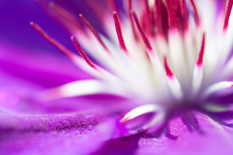 clematis flower - A Beginner's Guide to Photographing Flowers