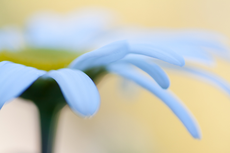 flower photography macro daisy abstract shallow focus - A Beginner's Guide to Photographing Flowers