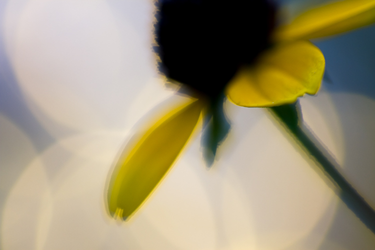 flower photography macro black-eyed susan