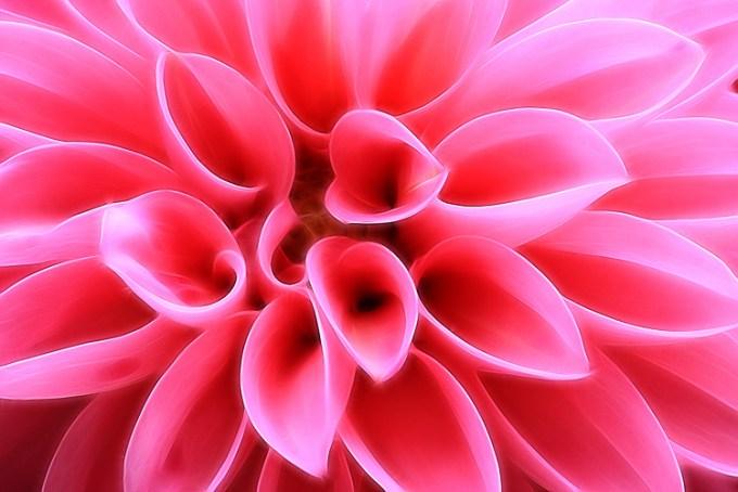 粉红色大丽花 -  8种方法来创造更多戏剧性的花卉照片
