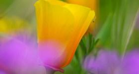Focus Through Poppy by Anne McKinnell