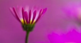 flower photography macro aster
