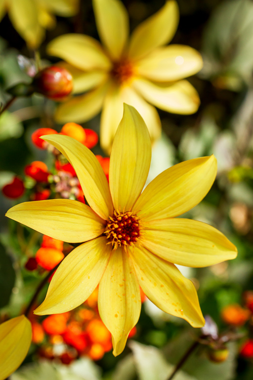 Yellow flowers - 8 Ways to Create More Dramatic Flower Photos