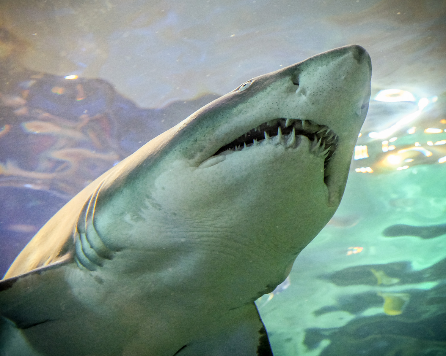 Low angle photo of a shark with its teeth showing. How to Take Clear and Creative Photos at Aquariums