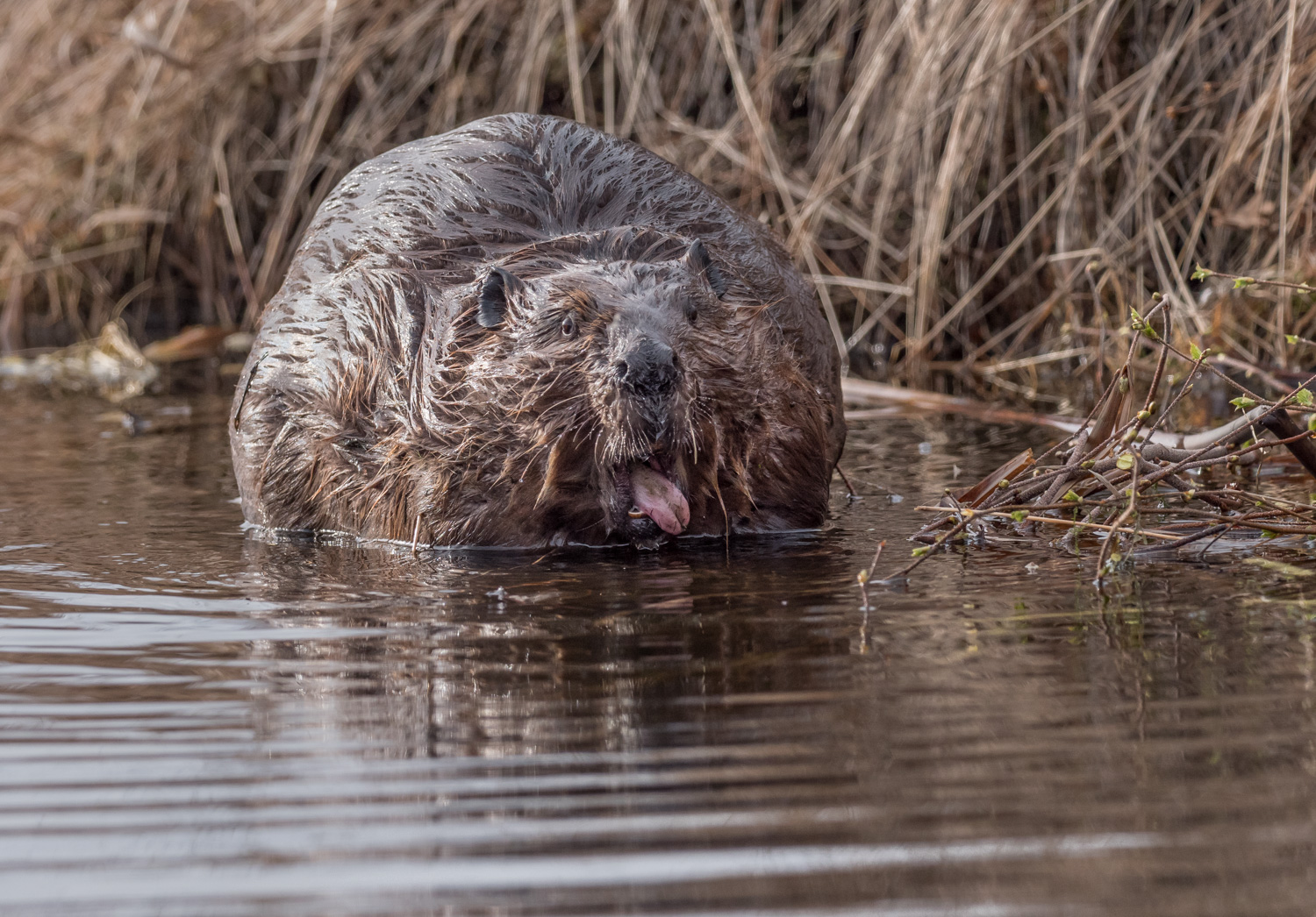 A Guide to Photographing Birds and Wildlife in a Wetland Area - beaver sticking his tongue out