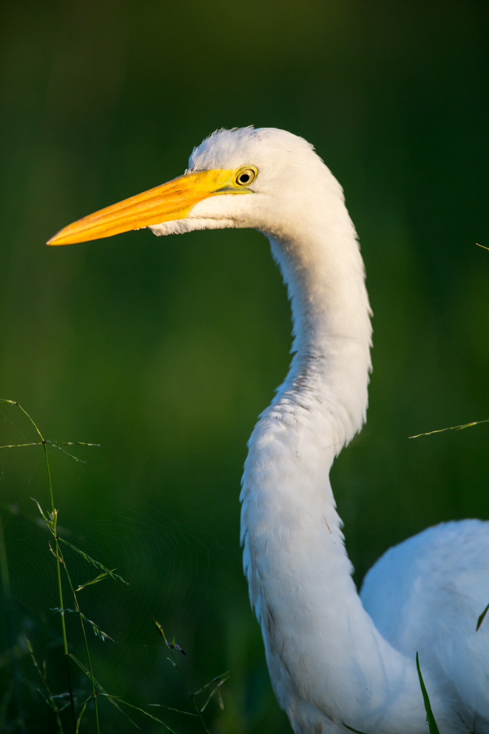 A Guide to Photographing Birds and Wildlife in a Wetland Area - white egret