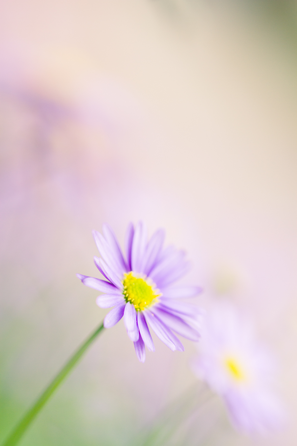 flower macro photography aster